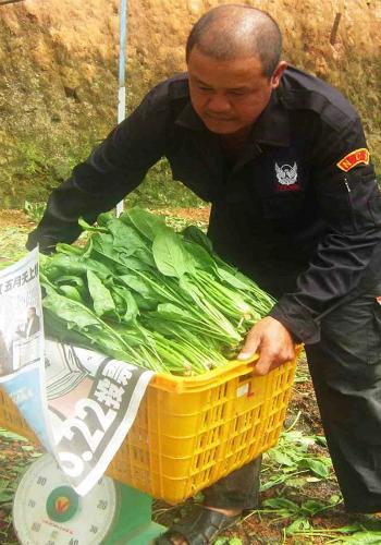 Ông Nguyễn Văn Thi bên nông trại bó xôi đang cho thu hoạch.