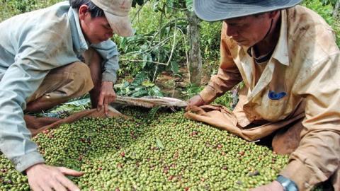 Giá xuất khẩu giảm, nông dân vỡ mộng làm giàu