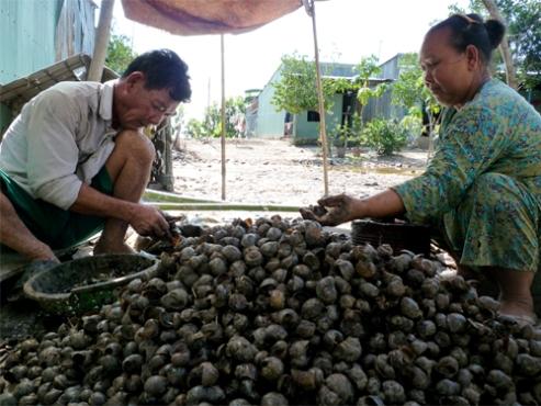 Người dân đổ xô đi bắt ốc biêu vàng bán cho thương lái Trung Quốc