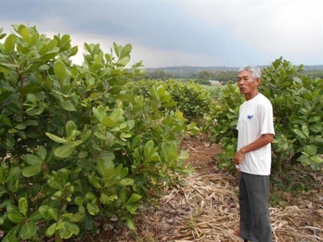 Vinacas đang giúp nông dân trồng điều gia tăng thu nhập