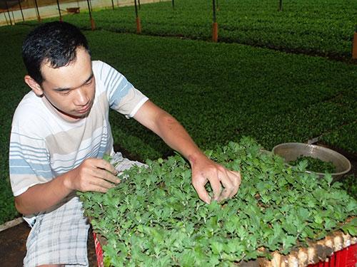 Ươm giống hoa cúc phục vụ thị trường hoa Tết tại TP Đà Lạ