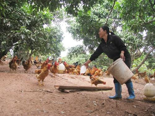 Gà, vịt đang mất giá khiến người chăn nuôi lo ngại thất thu