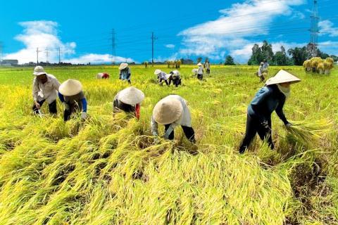 Nông dân Việt tốn rất nhiều công sức và chi phí trồng lúa
