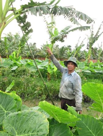 Năm 2013, ông Dân quyết định trồng 110 công bạc hà xen với chuối cao
