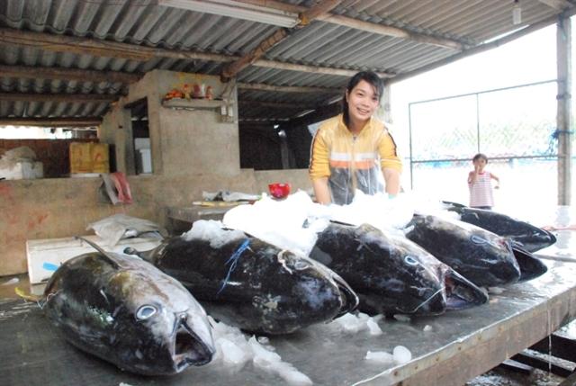 Nụ cười mùa cá ngừ trái vụ được giá