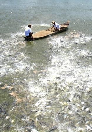 Nghề nuôi cá tra đã dần được khôi phục