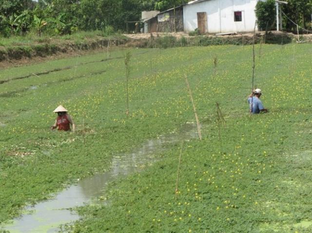 Rau nhút trồng trên ruộng lúa có bờ bao giữ nước