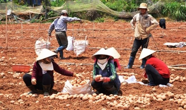 Thu hoạch khoai tây Đà Lạt