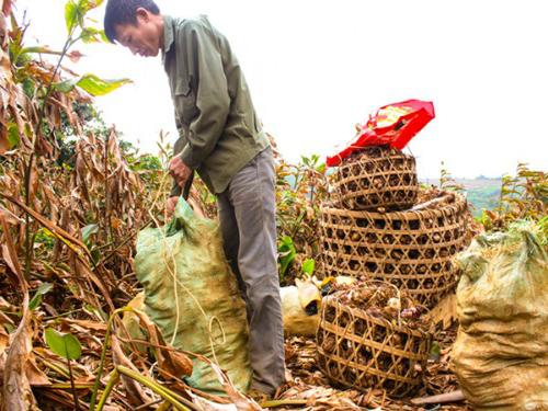 Ông Ngô Anh Tuấn đang thu hoạch dong riềng tại ruộng của gia đình.