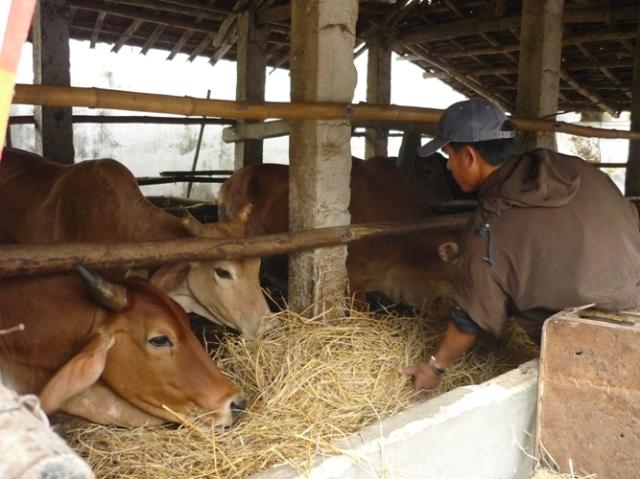 Ông Tự đang cho bò ăn