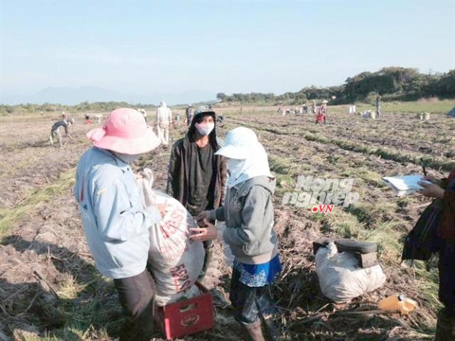 Kiệu tết vào mùa, nông dân làm thuê thu nhập mỗi ngày kiếm từ 150-200 ngàn đồng