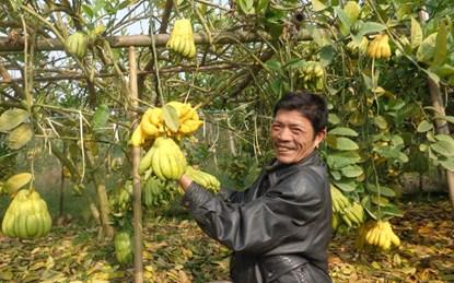 Nhờ trồng phật thủ, gia đình anh Nguyễn Tuấn Phong thu về tiền tỷ mỗi năm