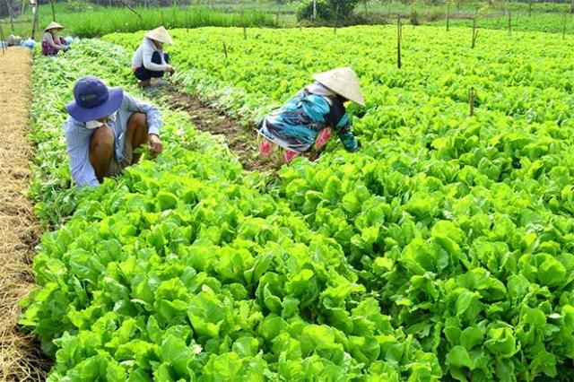 Do nhiều người cùng tập trung vào thị trường ngày tết nên nhiều loại rau, củ dội chợ.
