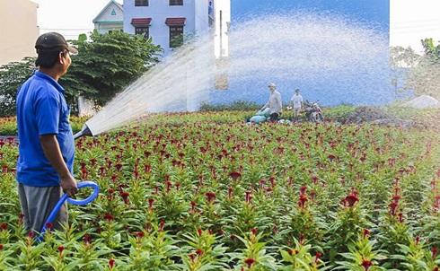 Vườn hoa mào gà của anh Đào Quang Thắng chuẩn bị thu hoạch