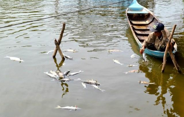Ông Đức đang vớt cá tra chết trên ao nuôi của ông Tưởng
