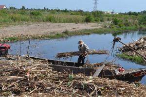 Các cánh đồng mía ở Nhơn Trạch chỉ có ghe nhỏ tiếp cận được
