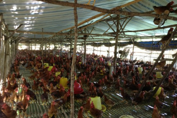 Một trang trại nuôi gà ở Đồng Nai.