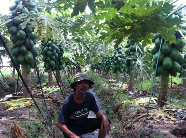 Ông Nguyễn Hồng Thi bên vườn đu đủ ruột vàng Carinosa của gia đình.